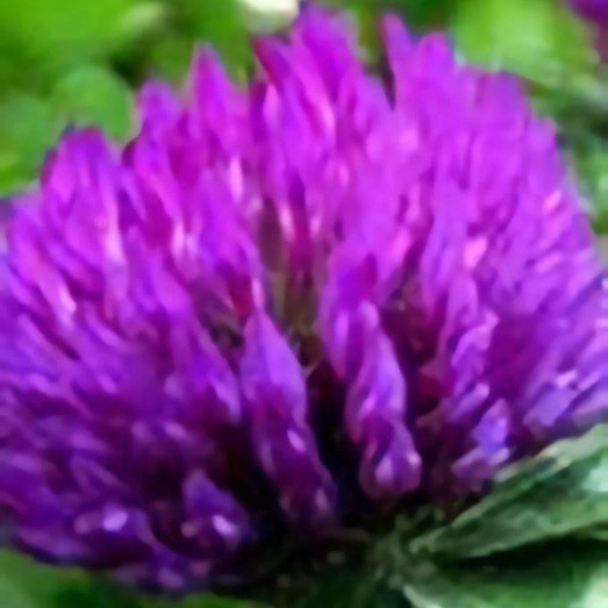Red Clover Extract Powder Featured Image