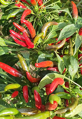 red-pepper-planting