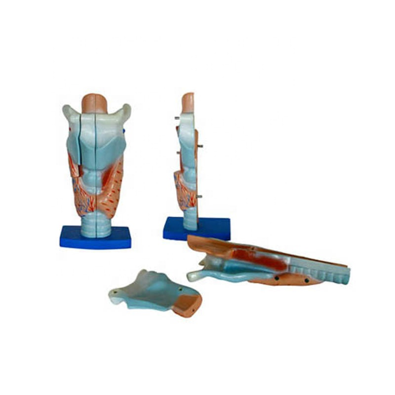 Human anatomy of the medical magnified larynx model