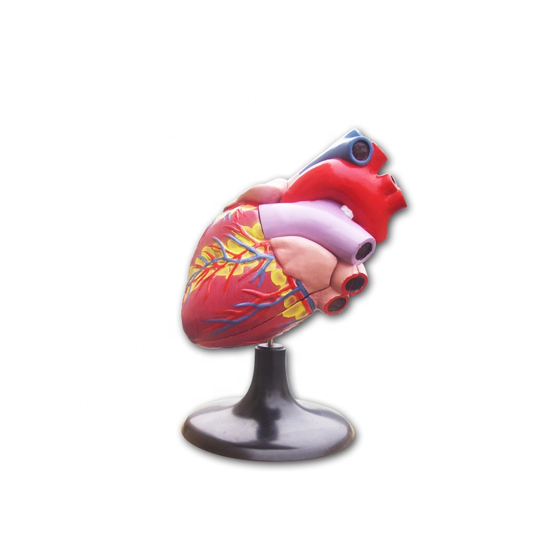 Human medical anatomical heart model