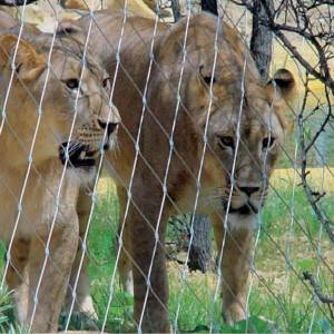Lion enclosure mesh