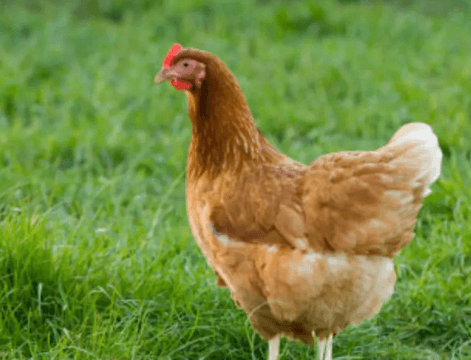 Cause Analysis and Prevention and Control of Chicken Liver Disease
