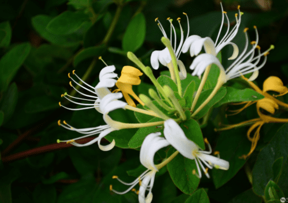 Natural 99% HoneySuckle Flowers Extract Honeysuckle oil