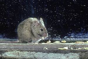 Keep the House Mouse Out of Your House