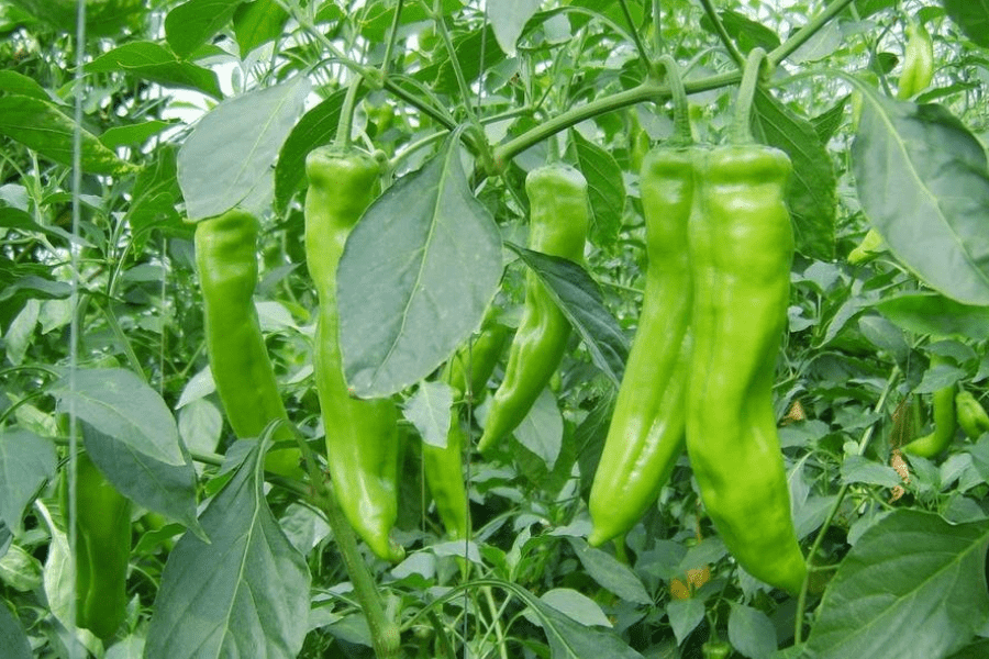 Effects of plant growth regulators on pepper