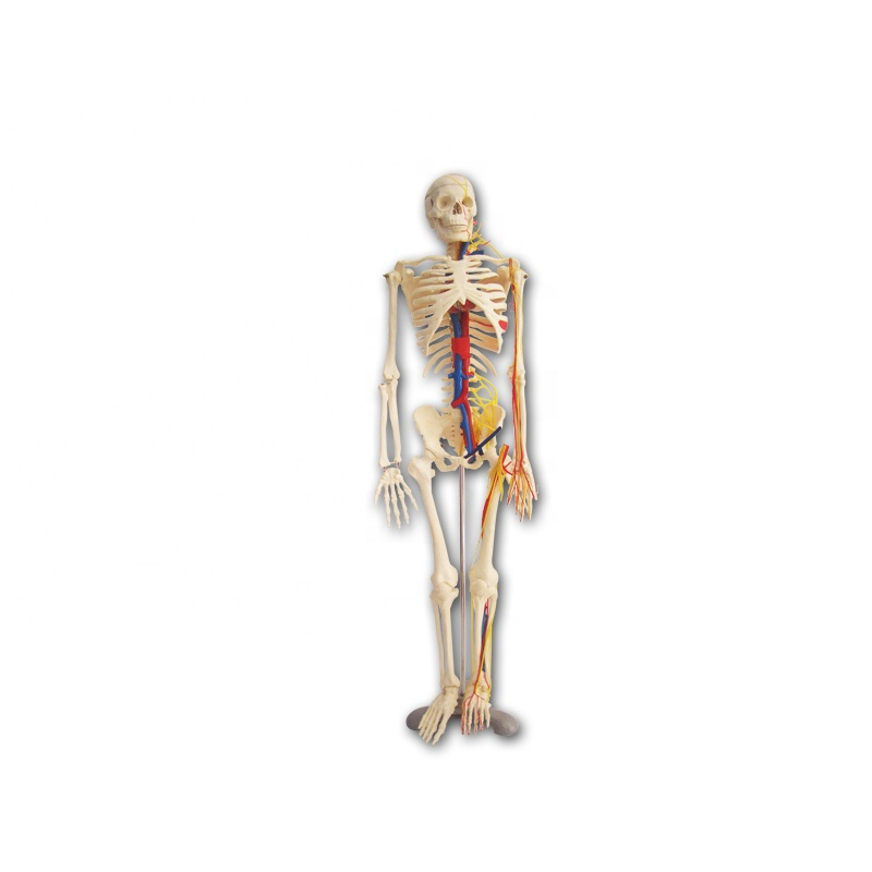 PVC 85CM human skeleton model with nerve for teaching Featured Image