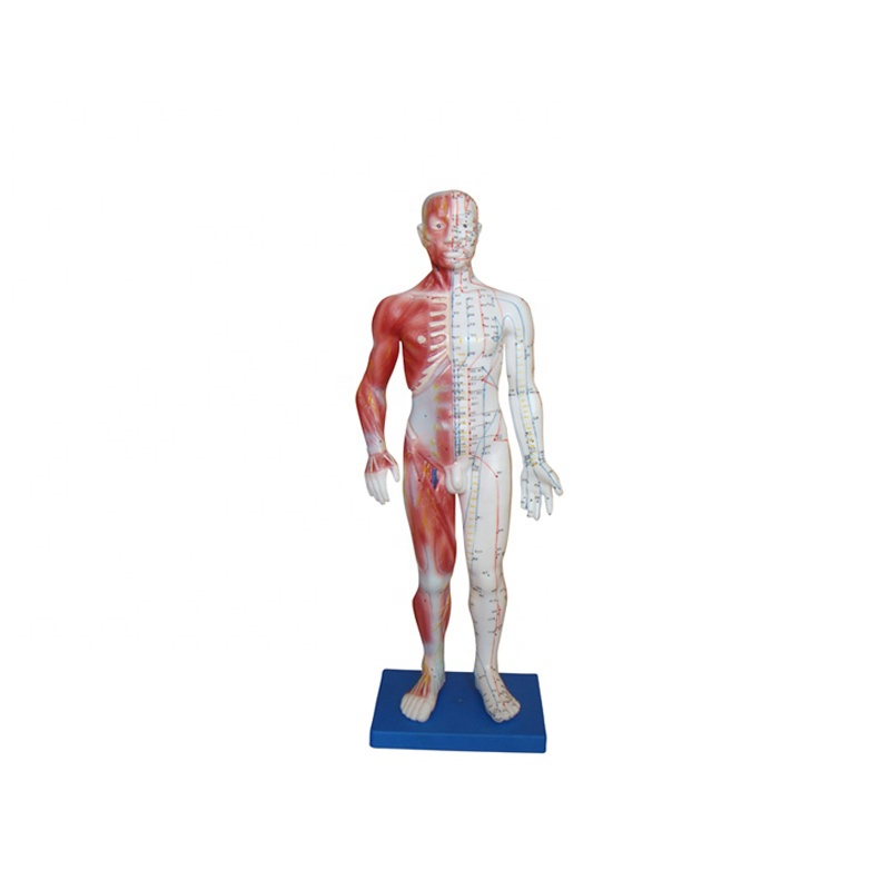Good Quality Skeleton Model - Male acupuncture human body model – Lianying