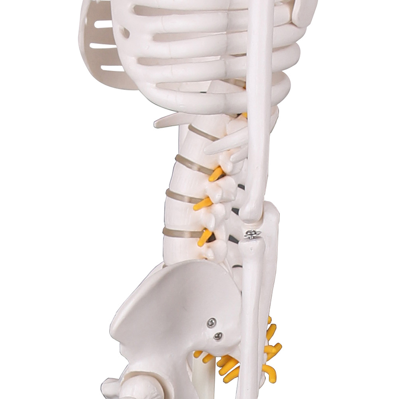 High quality anatomy skeleton body models with nerve exhibition