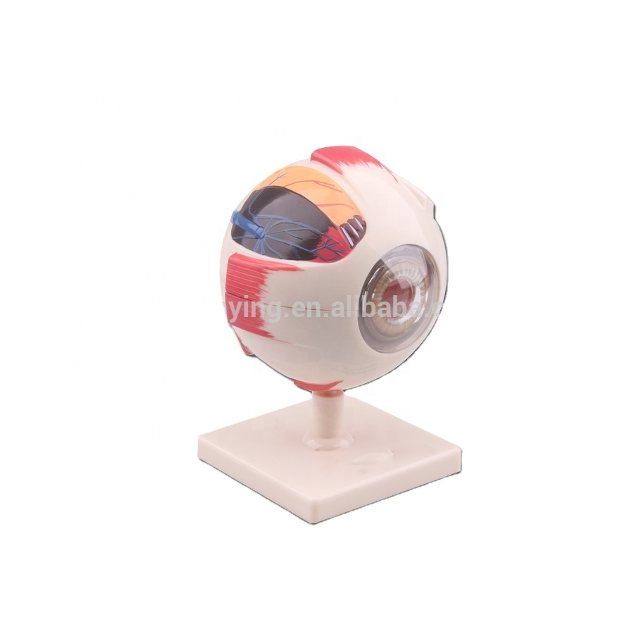 Plastic human anatomical magnify eyeball model