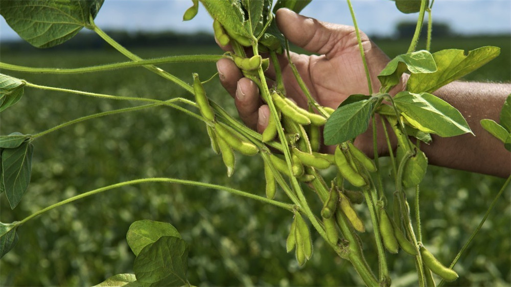 Soybean Prices Remain Bullish